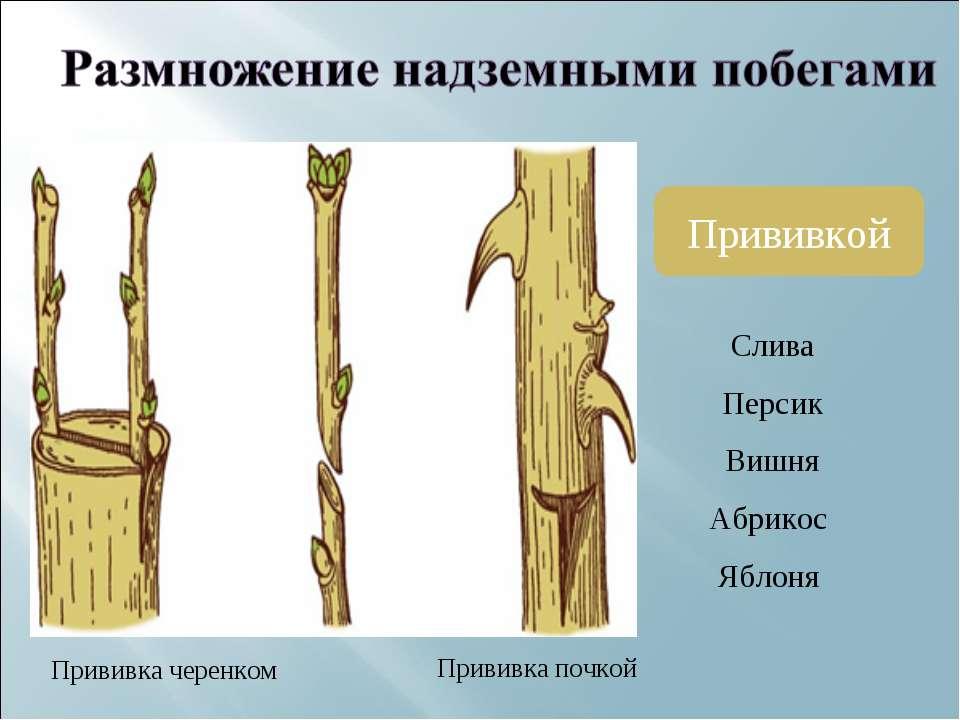 Прививкой Прививка черенком Прививка почкой Слива Персик Вишня Абрикос Яблоня