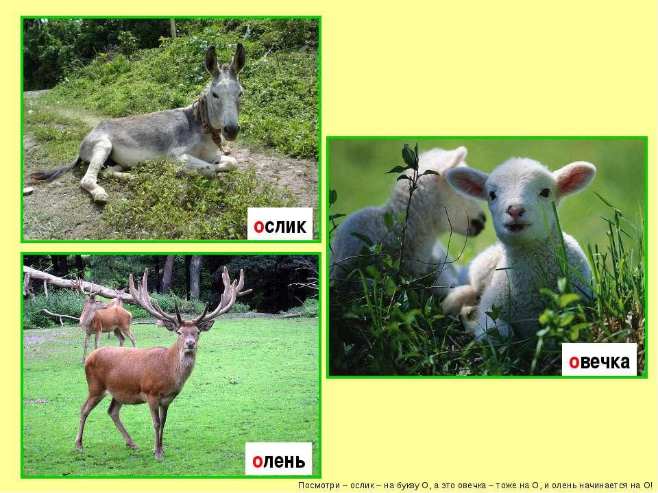 Посмотри – ослик – на букву О, а это овечка – тоже на О, и олень начинается н...