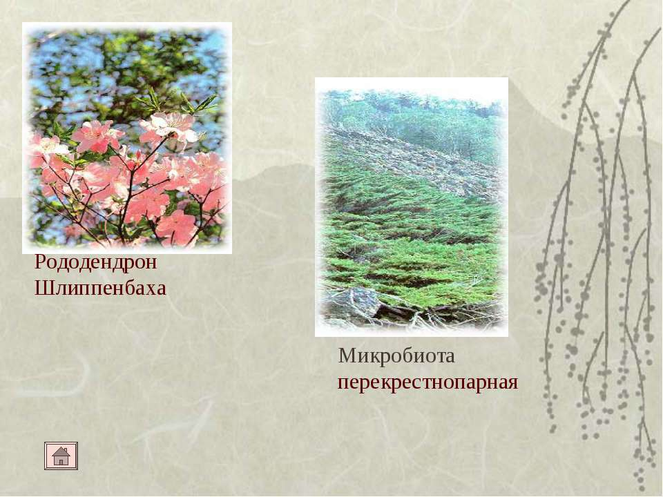 Рододендрон Шлиппенбаха Микробиота перекрестнопарная