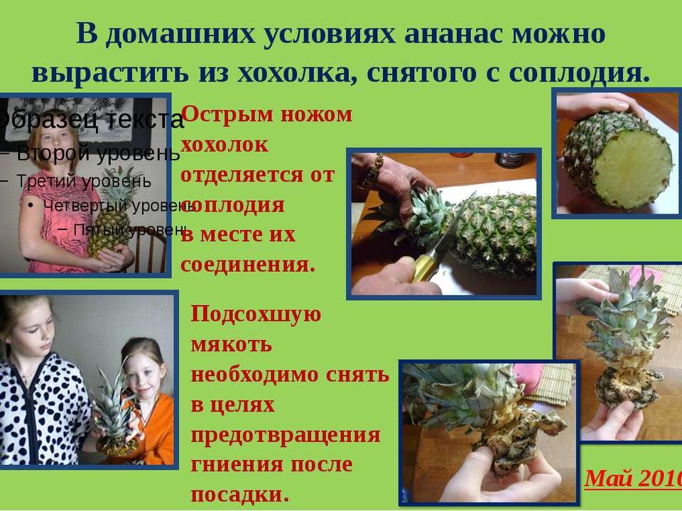 В домашних условиях ананас можно вырастить из хохолка, снятого с соплодия. Ос...