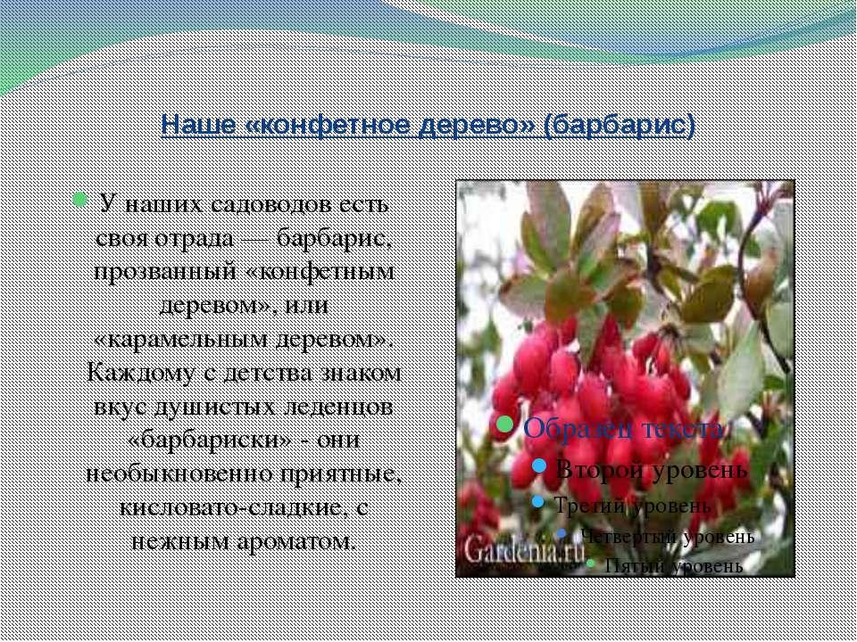 Наше «конфетное дерево» (барбарис) У наших садоводов есть своя отрада — барба...