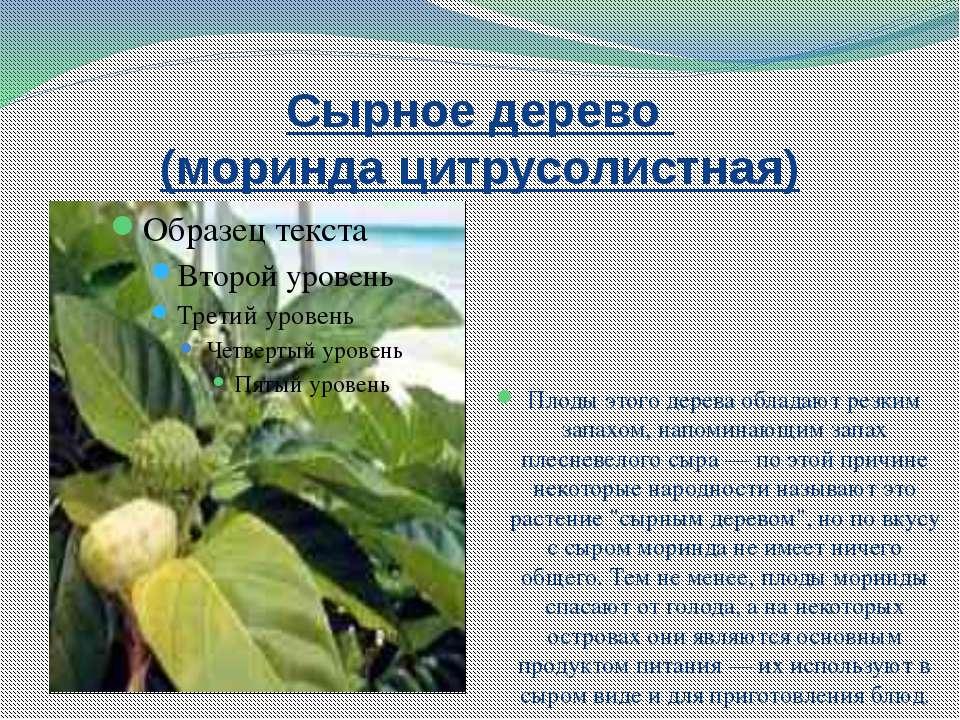 Сырное дерево (моринда цитрусолистная) Плоды этого дерева обладают резким зап...