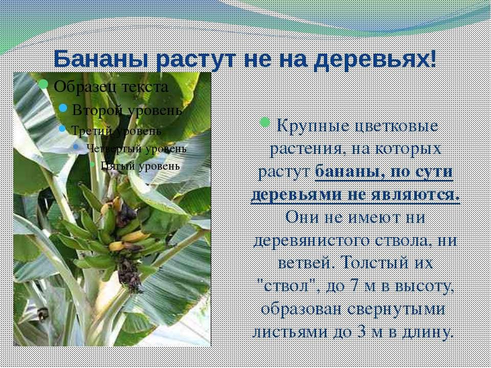 Бананы растут не на деревьях! Крупные цветковые растения, на которых растут б...