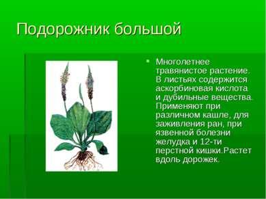 Подорожник большой Многолетнее травянистое растение. В листьях содержится аск...