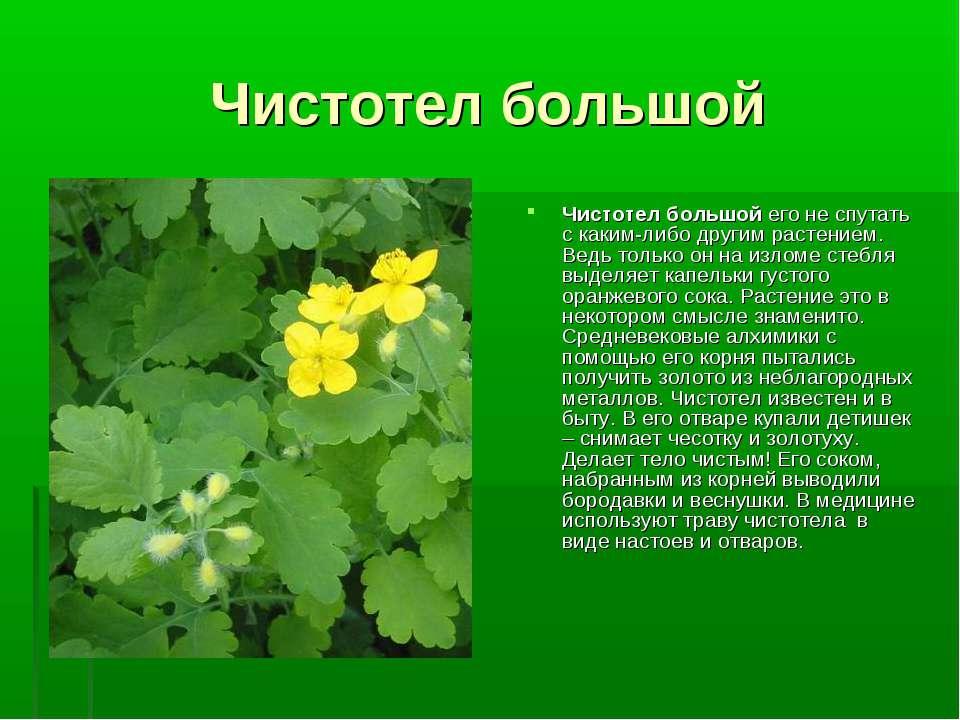 Чистотел большой Чистотел большой его не спутать с каким-либо другим растение...