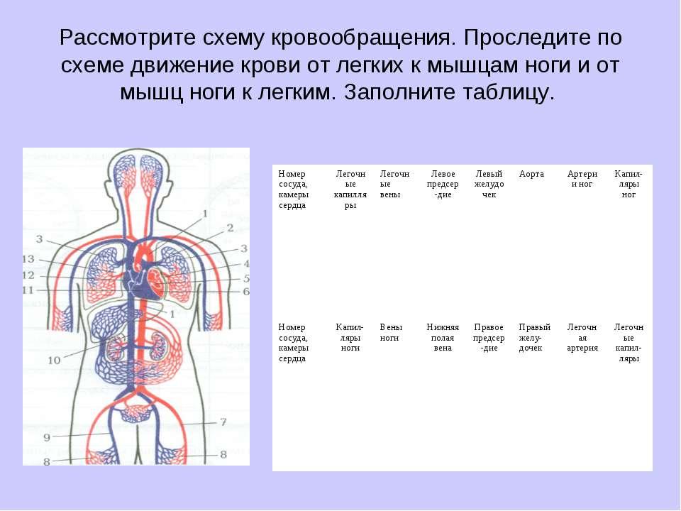 Рассмотрите схему кровообращения. Проследите по схеме движение крови от легки...
