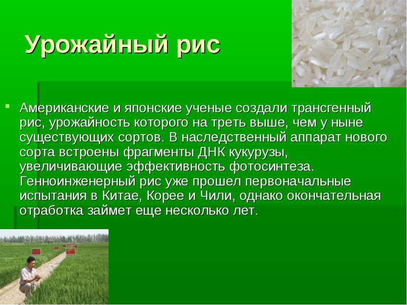 Урожайный рис Американские и японские ученые создали трансгенный рис, урожайн...