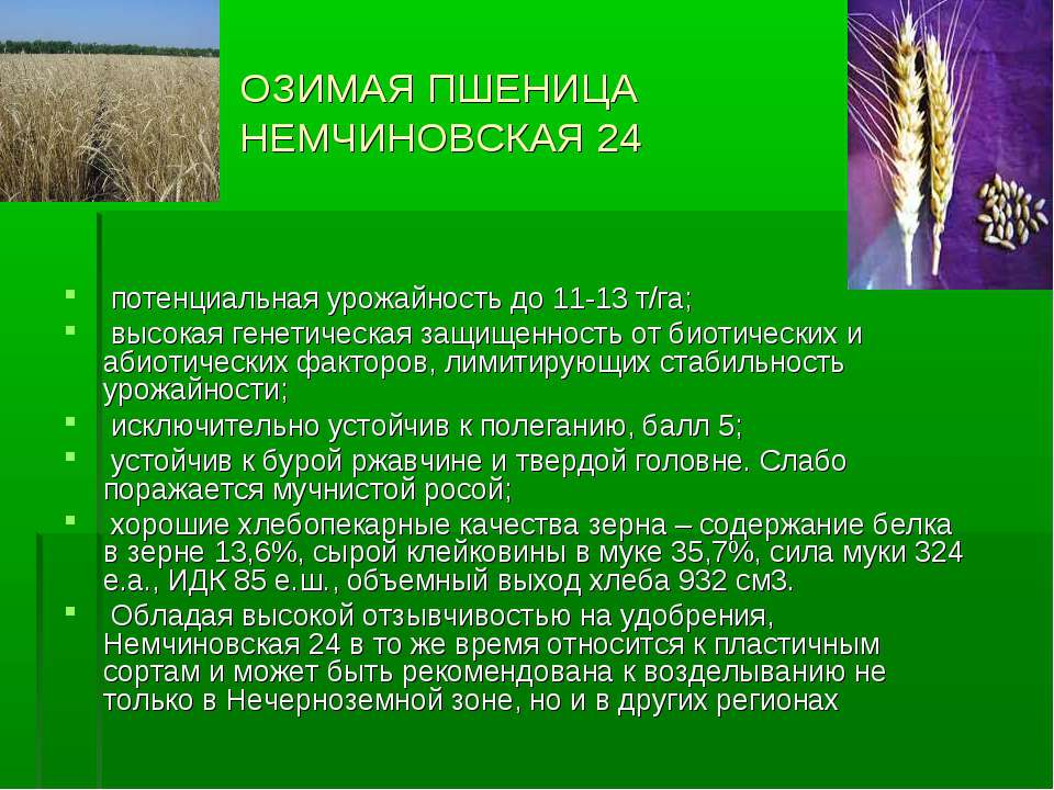 ОЗИМАЯ ПШЕНИЦА НЕМЧИНОВСКАЯ 24 потенциальная урожайность до 11-13 т/га; высок...