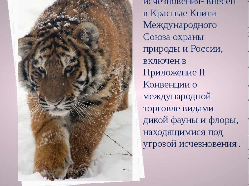 Амурский тигр, как объект первой категории угрозы исчезновения- внесен в Крас...