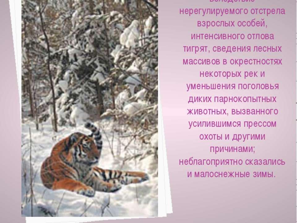 Амурский тигр оказался на грани исчезновения вследствие нерегулируемого отстр...