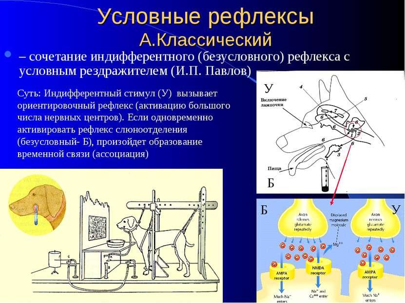 Условные рефлексы А.Классический – сочетание индифферентного (безусловного) р...