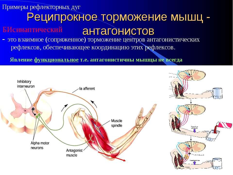 Реципрокное торможение мышц - антагонистов - это взаимное (сопряженное) тормо...