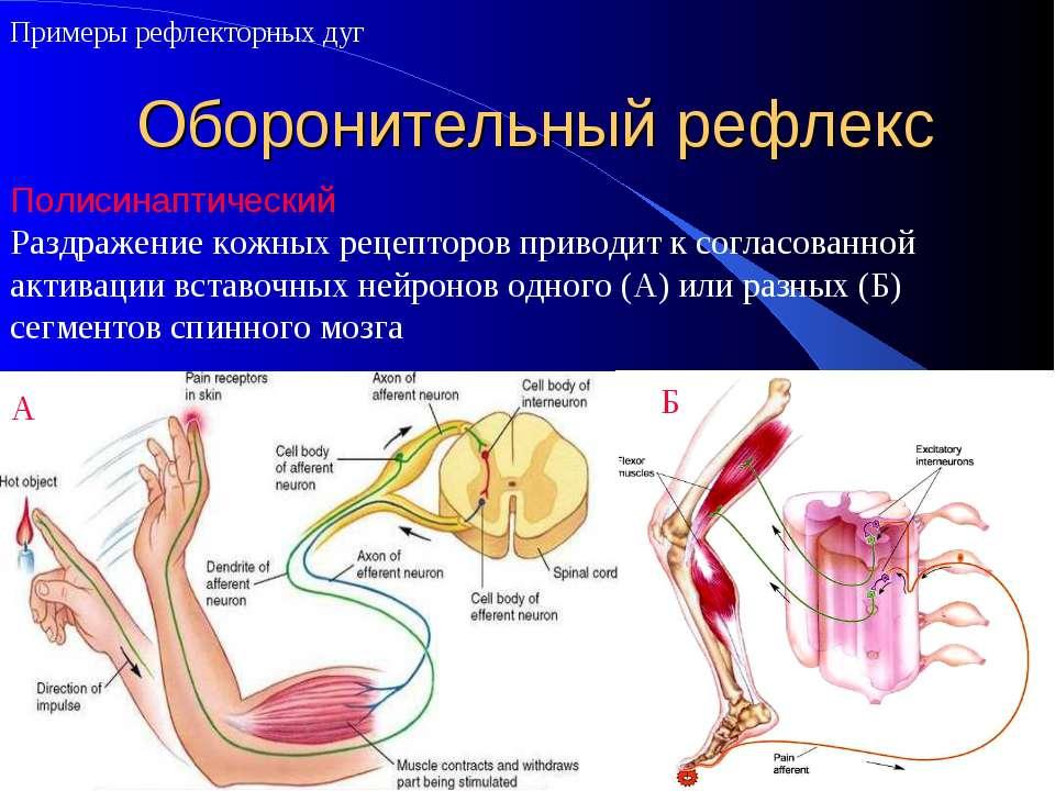 Оборонительный рефлекс Примеры рефлекторных дуг Полисинаптический Раздражение...