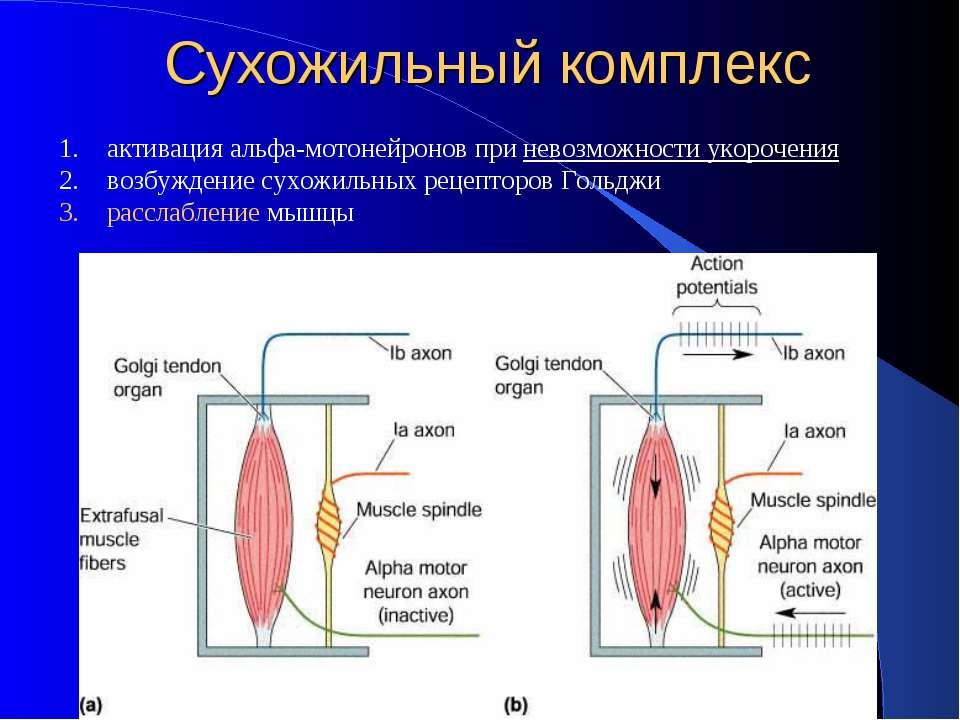Сухожильный комплекс активация альфа-мотонейронов при невозможности укорочени...