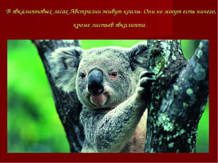 В эвкалиптовых лесах Австралии живут коалы. Они не могут есть ничего, кроме л...