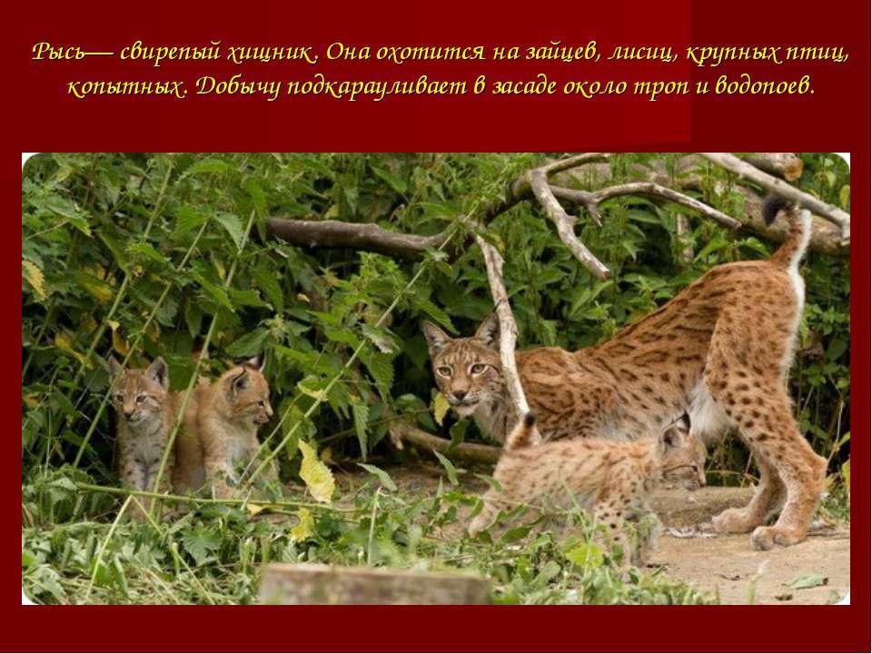 Рысь— свирепый хищник. Она охотится на зайцев, лисиц, крупных птиц, копытных....