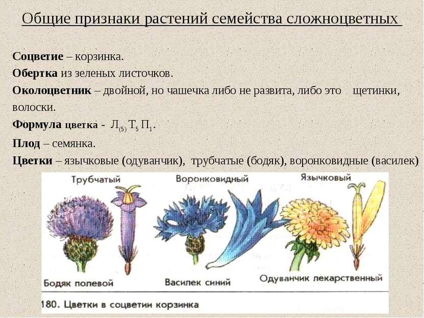 Общие признаки растений семейства сложноцветных Соцветие – корзинка. Обертка ...