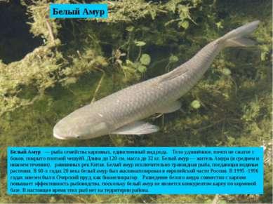 Белый Амур Белый Амур — рыба семейства карповых, единственный вид рода. Тело ...