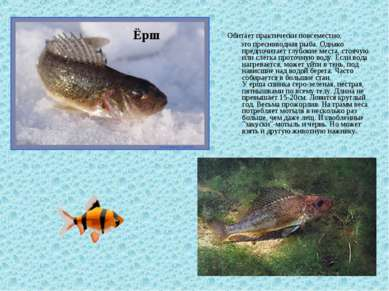Обитает практически повсеместно, это пресноводная рыба. Однако предпочитает г...