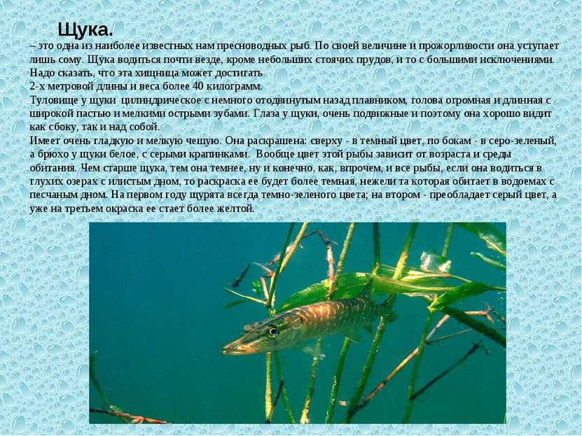 Щука. – это одна из наиболее известных нам пресноводных рыб. По своей величин...