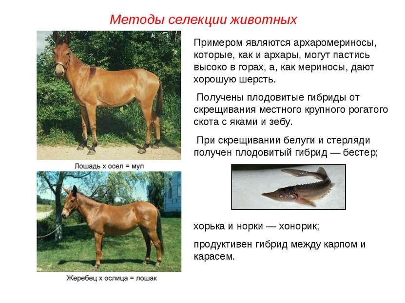 Методы селекции животных Примером являются архаромериносы, которые, как и арх...