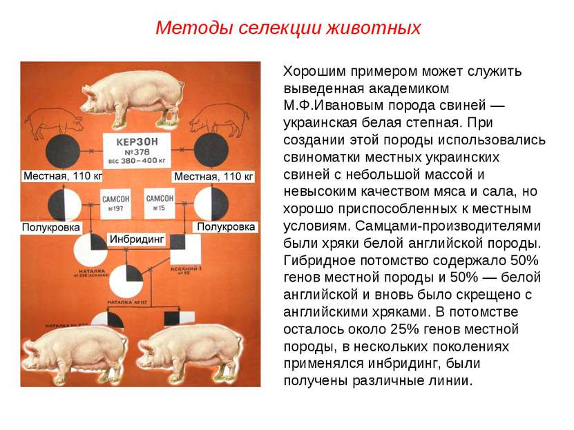 Хорошим примером может служить выведенная академиком М.Ф.Ивановым порода свин...