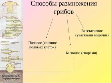 Способы размножения грибов Вегетативное (участками мицелия) Бесполое (спорами...