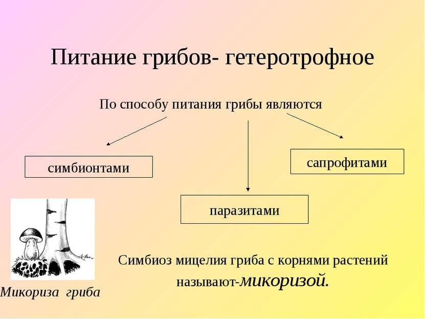 Питание грибов- гетеротрофное По способу питания грибы являются симбионтами п...