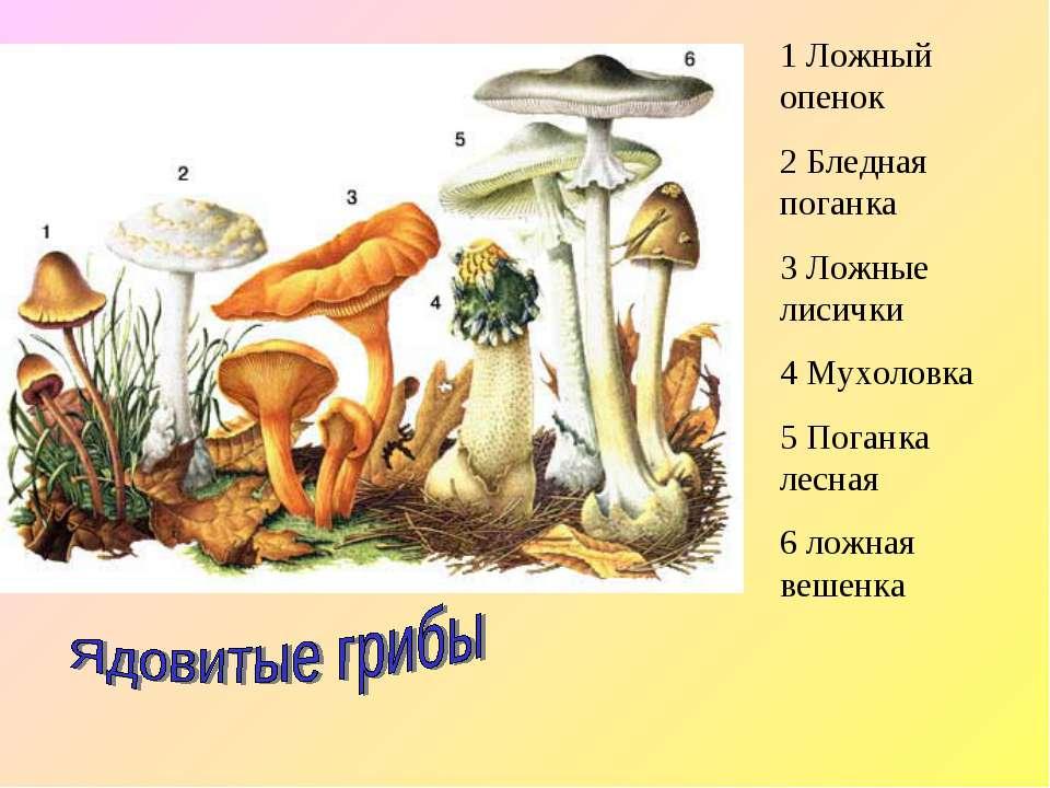 1 Ложный опенок 2 Бледная поганка 3 Ложные лисички 4 Мухоловка 5 Поганка лесн...