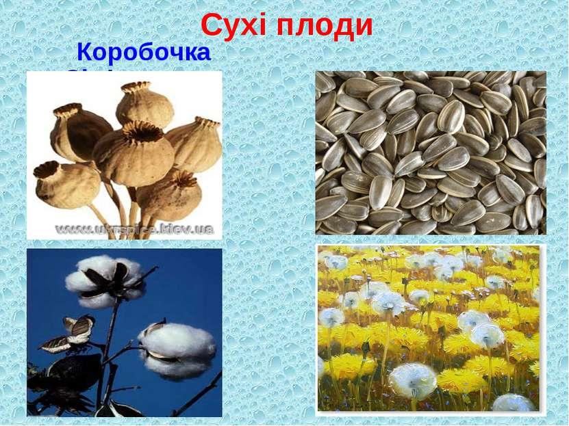 Сухі плоди Коробочка Сім'янка