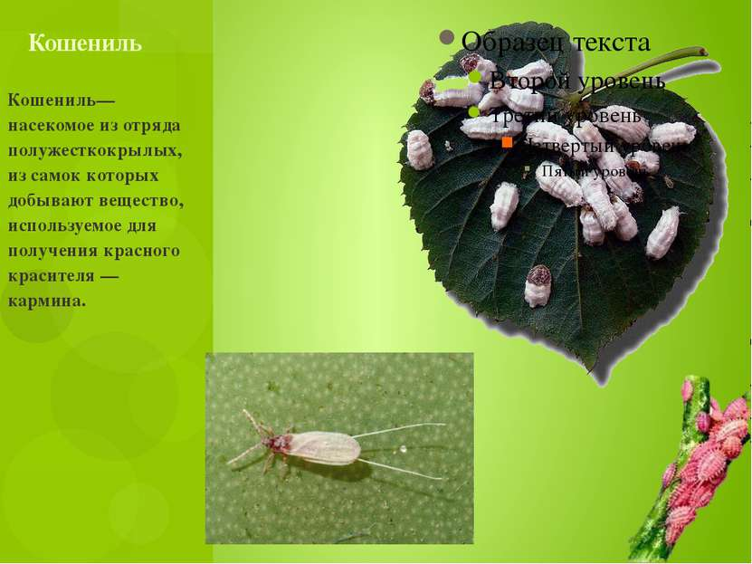 Кошениль— насекомое из отряда полужесткокрылых, из самок которых добывают вещ...