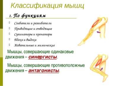 Классификация мышц По функциям Сгибатели и разгибатели Приводящие и отводящие...