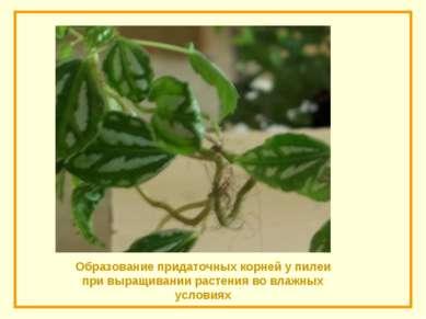 Образование придаточных корней у пилеи при выращивании растения во влажных ус...
