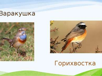 Варакушка Горихвостка