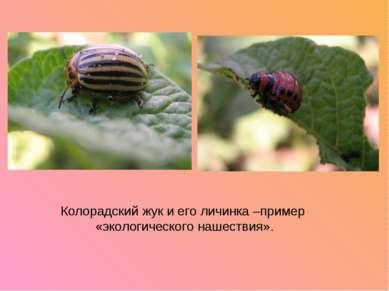 Колорадский жук и его личинка –пример «экологического нашествия».