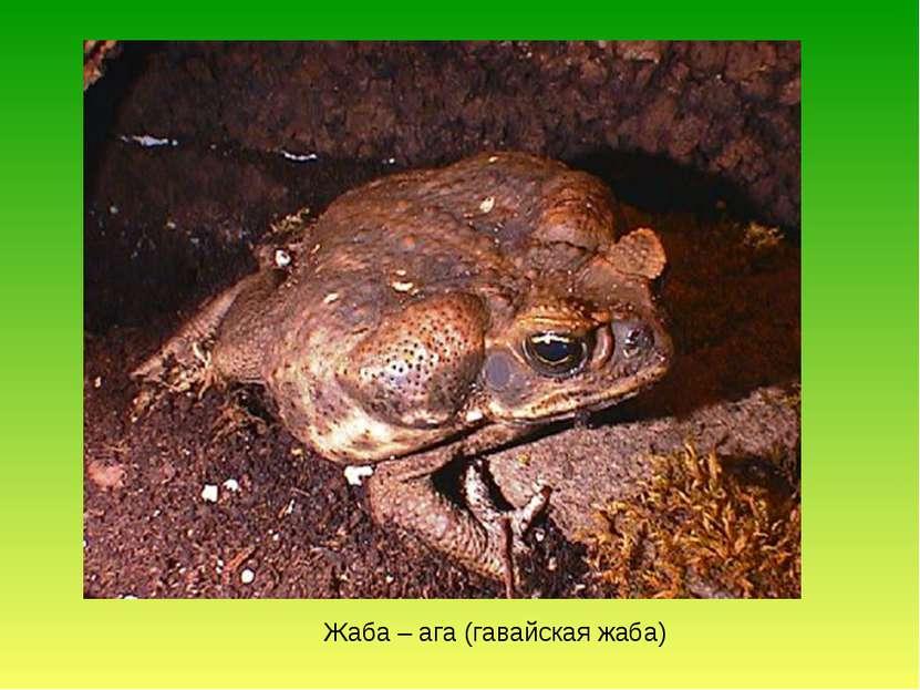 Жаба – ага (гавайская жаба)