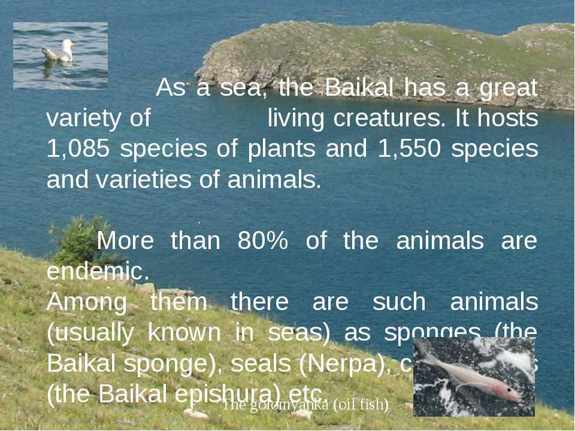 As a sea, the Baikal has a great variety of living creatures. It hosts 1,085 ...