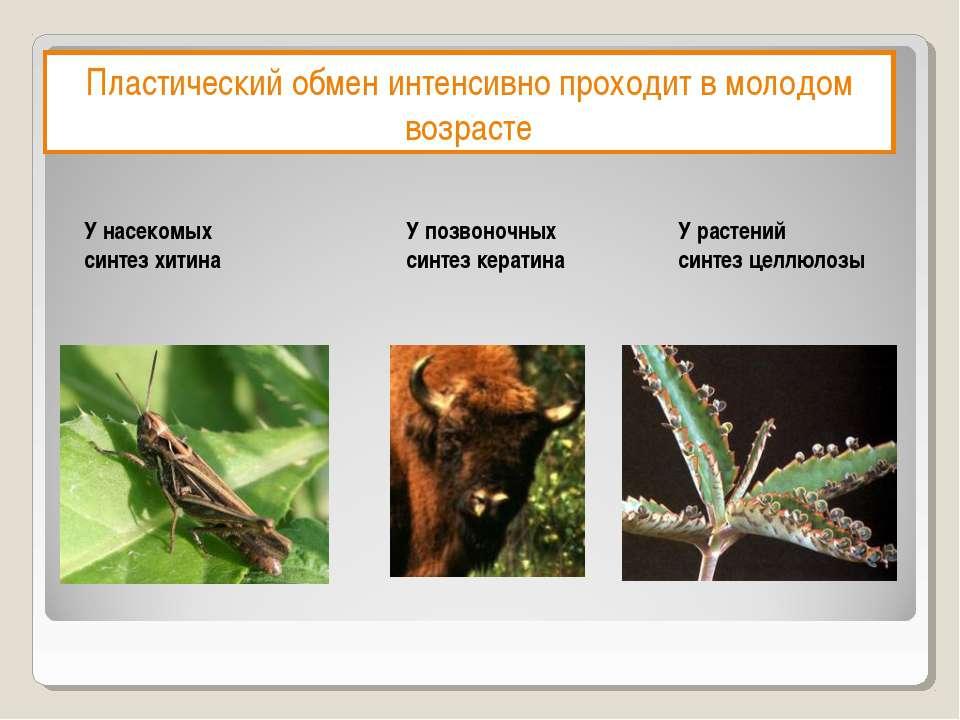 Пластический обмен интенсивно проходит в молодом возрасте У насекомых синтез ...