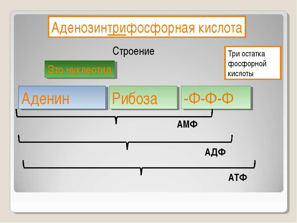 Аденозинтрифосфорная кислота Строение Это нуклеотид Три остатка фосфорной кис...