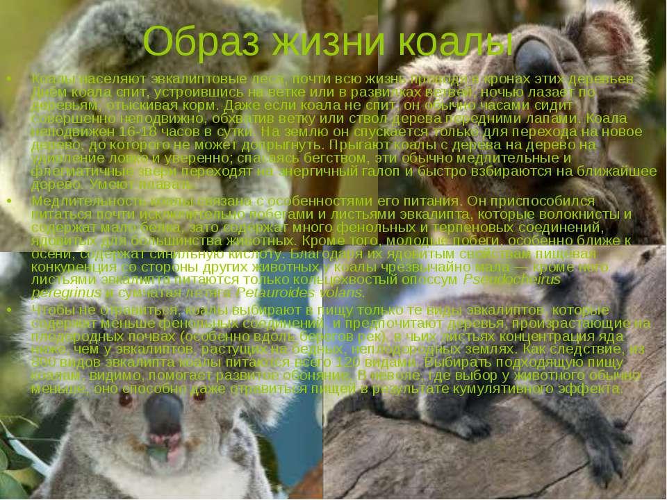 Образ жизни коалы Коалы населяютэвкалиптовыелеса, почти всю жизнь проводя в...