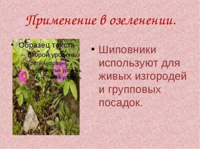Применение в озеленении. Шиповники используют для живых изгородей и групповых...