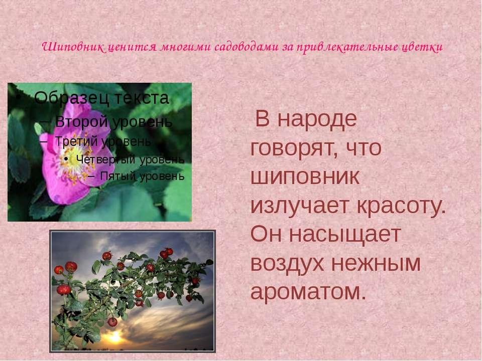 Шиповник ценится многими садоводами за привлекательные цветки В народе говоря...