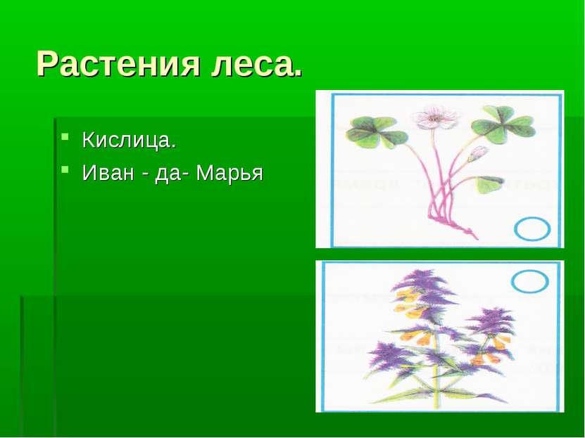 Растения леса. Кислица. Иван - да- Марья
