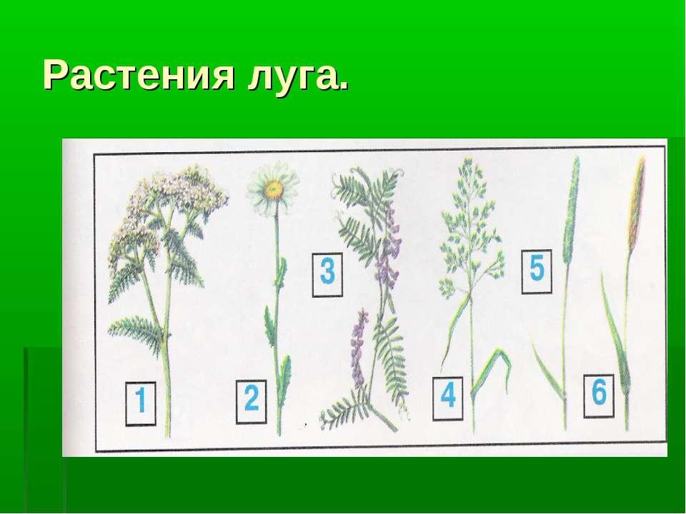 Растения луга.