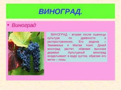 ВИНОГРАД. Виноград ВИНОГРАД - вторая после пшеницы культура по древности и ра...