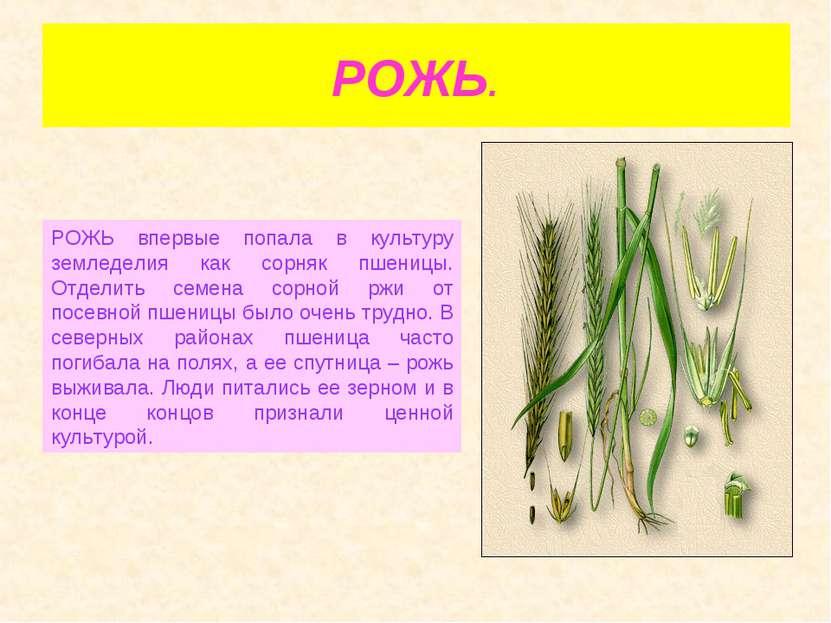 РОЖЬ. РОЖЬ впервые попала в культуру земледелия как сорняк пшеницы. Отделить ...