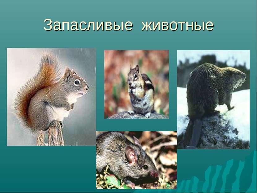Запасливые животные
