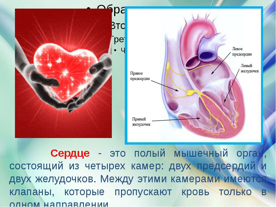 Сердце - это полый мышечный орган, состоящий из четырех камер: двух предсерди...