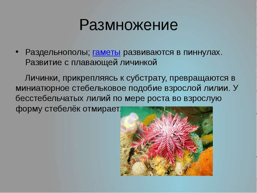 Размножение Раздельнополы; гаметы развиваются в пиннулах. Развитие с плавающе...