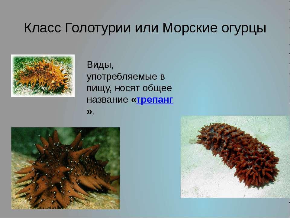 Класс Голотурии или Морские огурцы Виды, употребляемые в пищу, носят общее на...